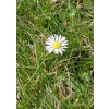 This is a photograph of a single daisy surrounded by grass. Great for a cover to a church bulletin!